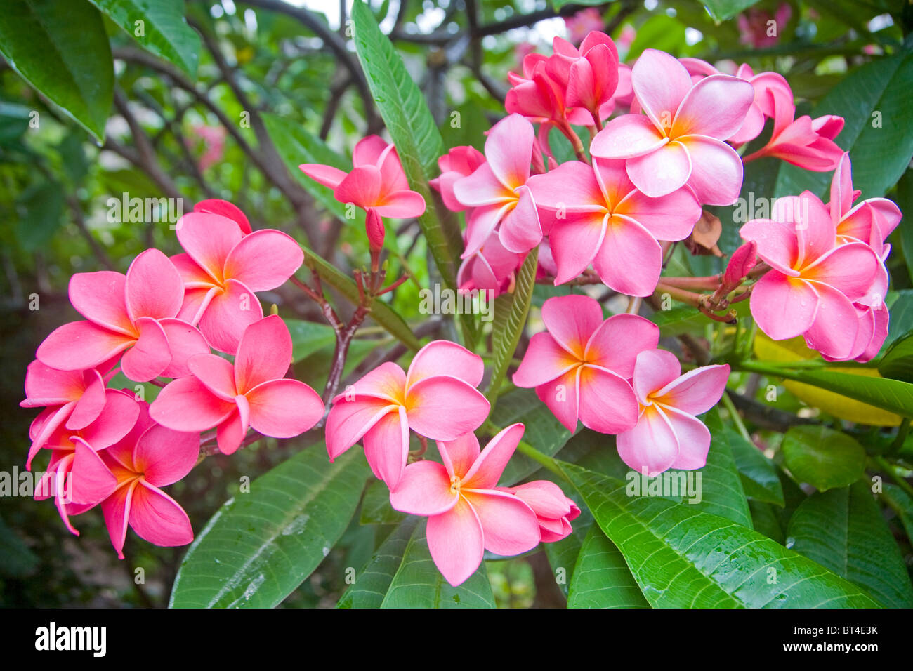Frangipani or plumeria flowers of the species plumeria rubra stock frangipani or plumeria flowers of the species plumeria rubra dhlflorist Gallery