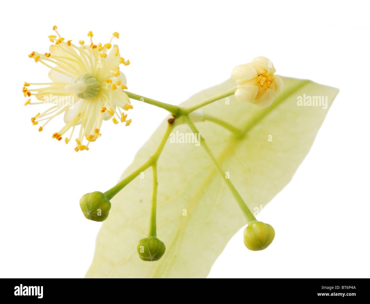 Linden flower Stock Royalty Free Image Alamy