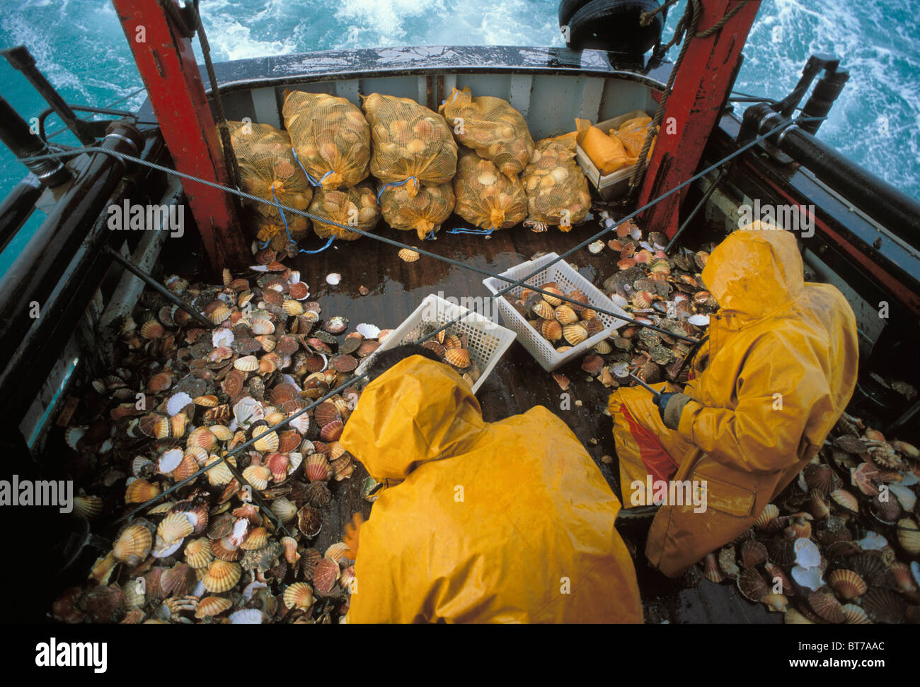 [Stock photo image of hundreds of scallops and two scallop fishers on the deck of a boat in the St Brieuc Bay.]