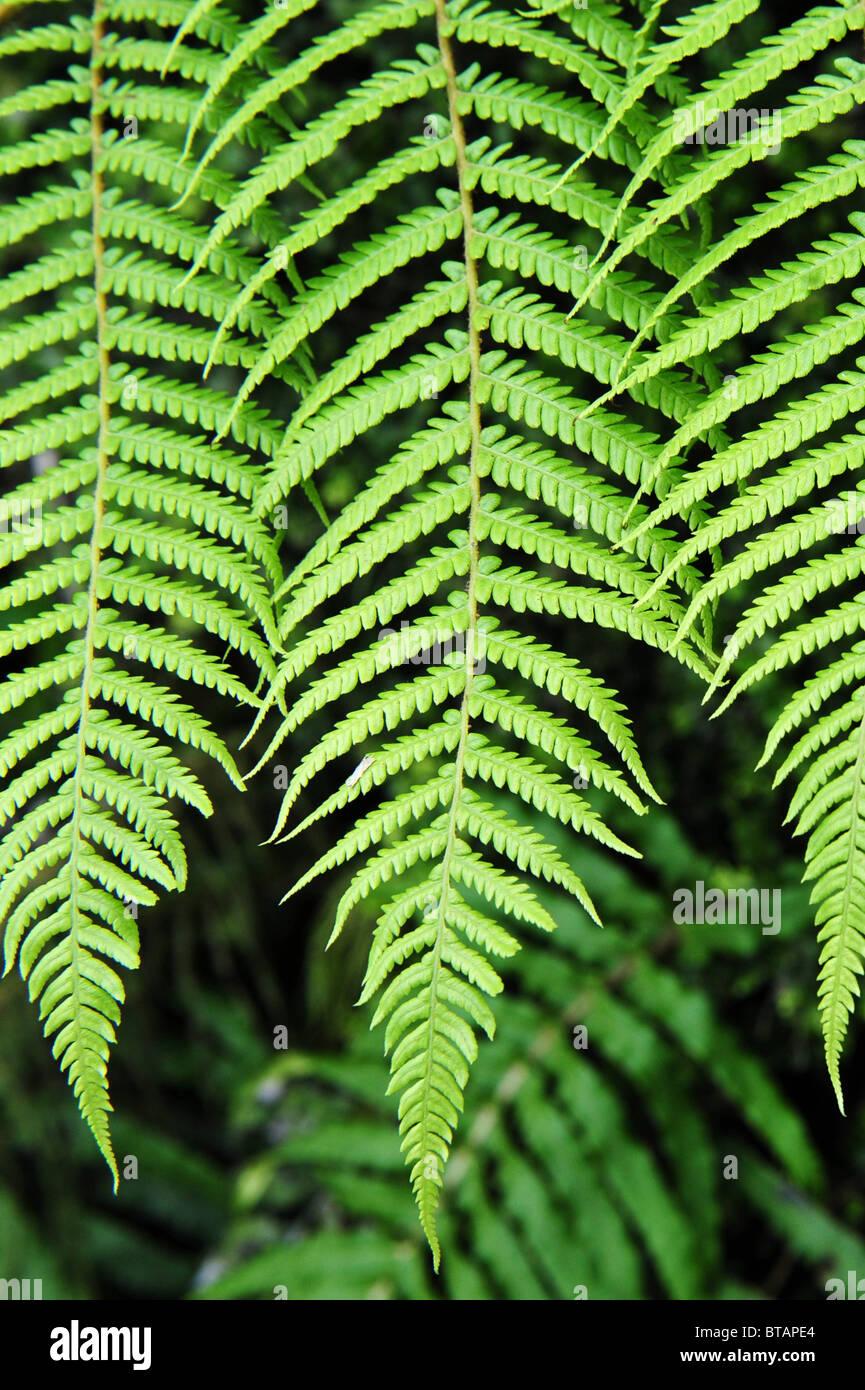 Silver Fern Leaf In Native New Zealand Bush. The Silver