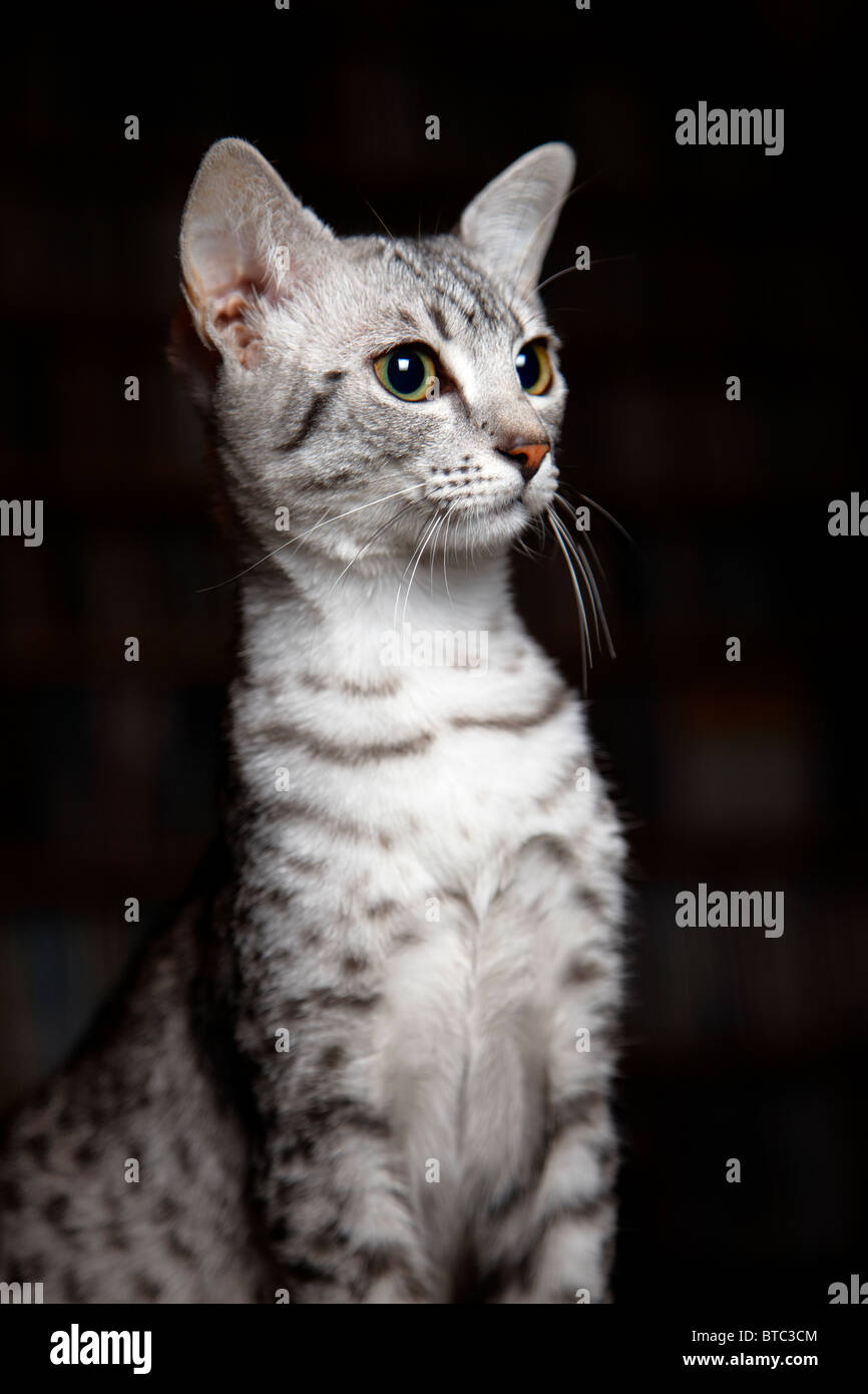 Egyptian Mau kitten portrait Stock Royalty Free Image