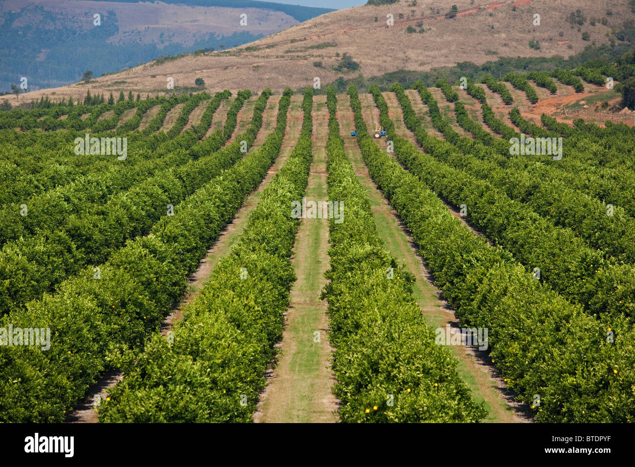 Rows Of Trees In A Citrus Orchard Stock Photo Royalty