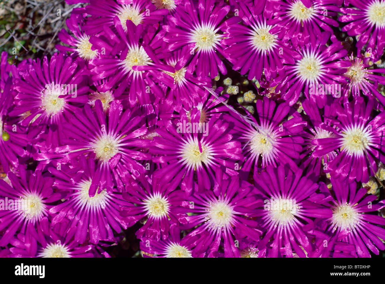 bright purple flowers called fyn t'nouroebos mesem stock photo, Beautiful flower