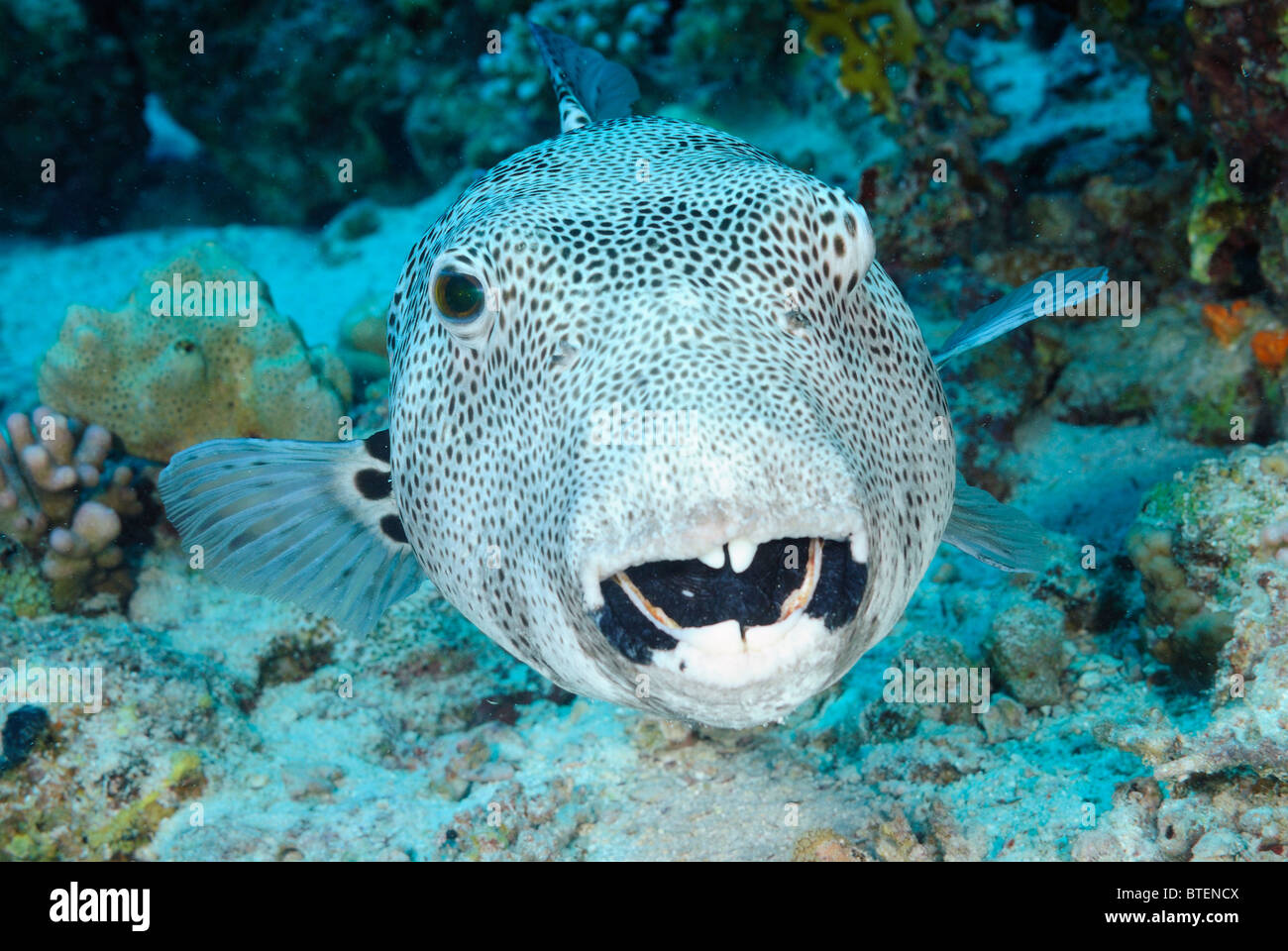 Star puffer fish off coast of safaga egypt red sea for Red sea fish