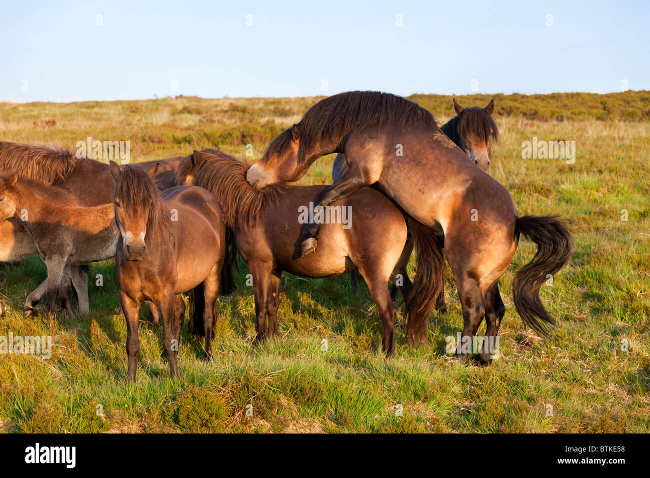 Exmoor Ponies Mating, Surrounded By The Rest Of The Herd ...