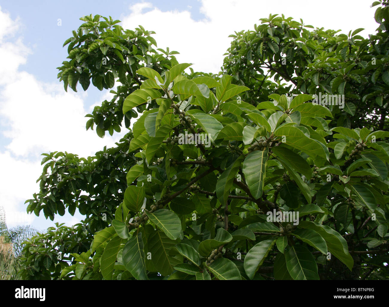 fig tree leaf stock photos u0026 fig tree leaf stock images alamy