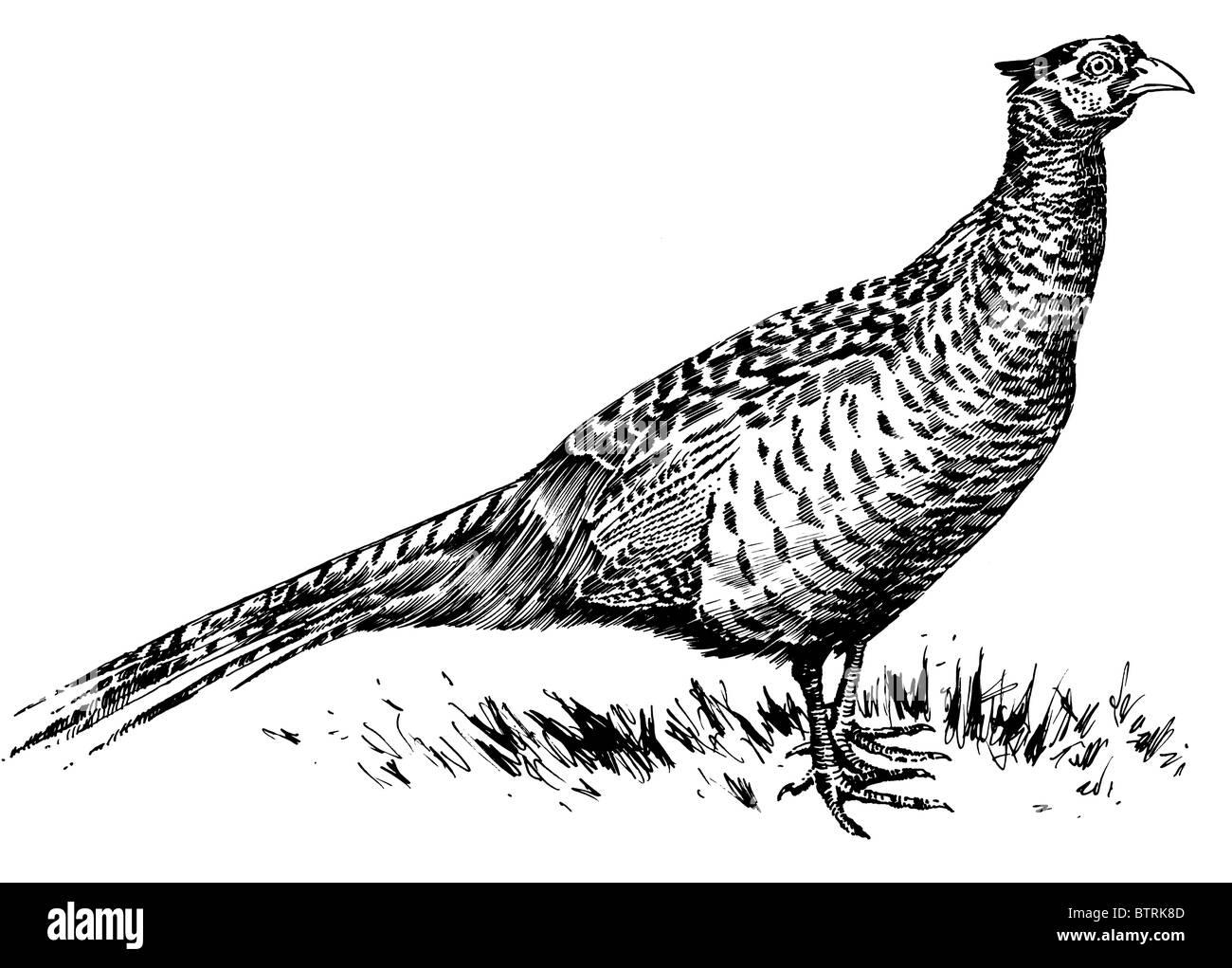Line drawing of pheasa...