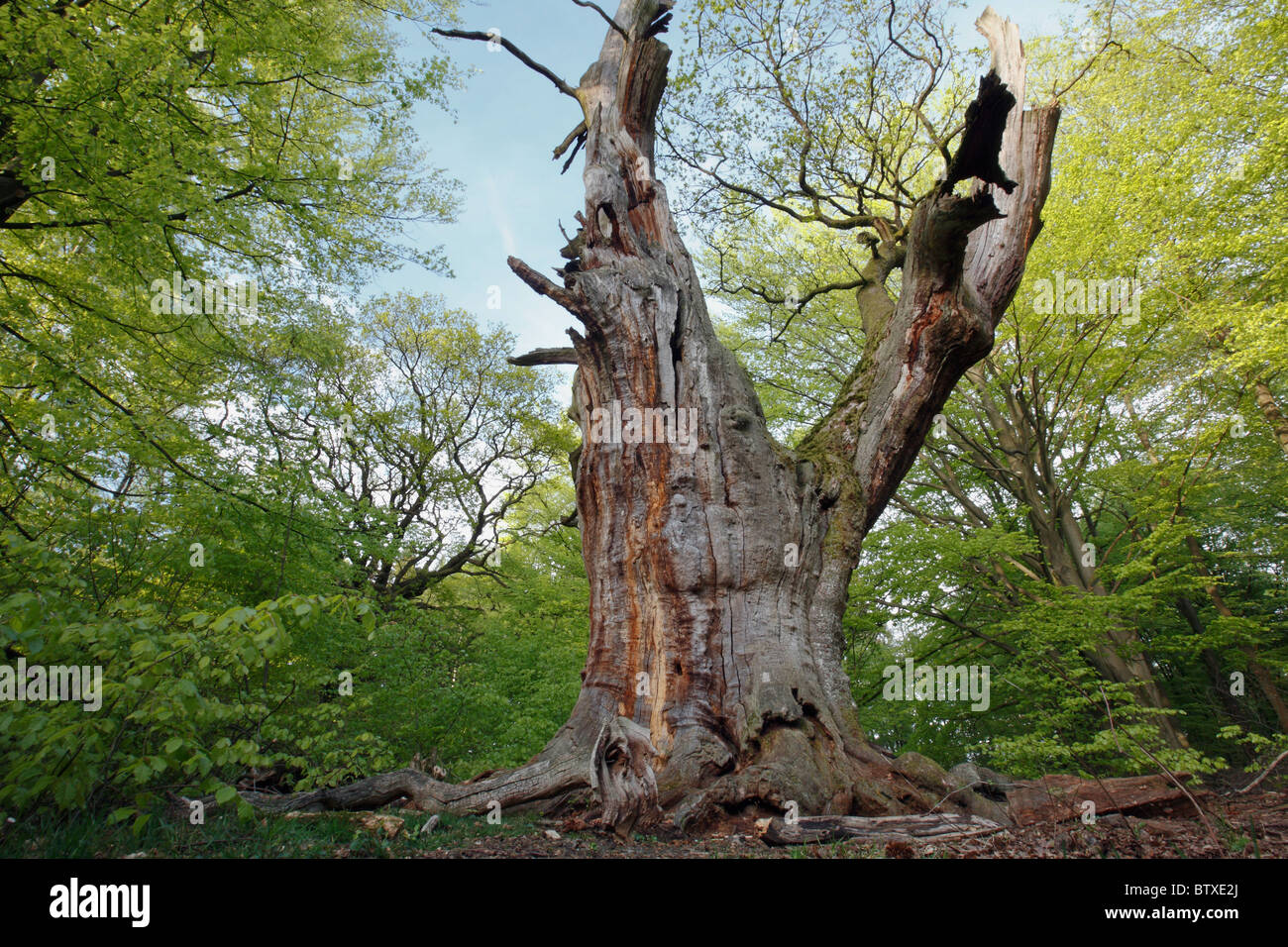 ancient oak tree quercus robur sababurg forest reservation stock photo royalty free image. Black Bedroom Furniture Sets. Home Design Ideas