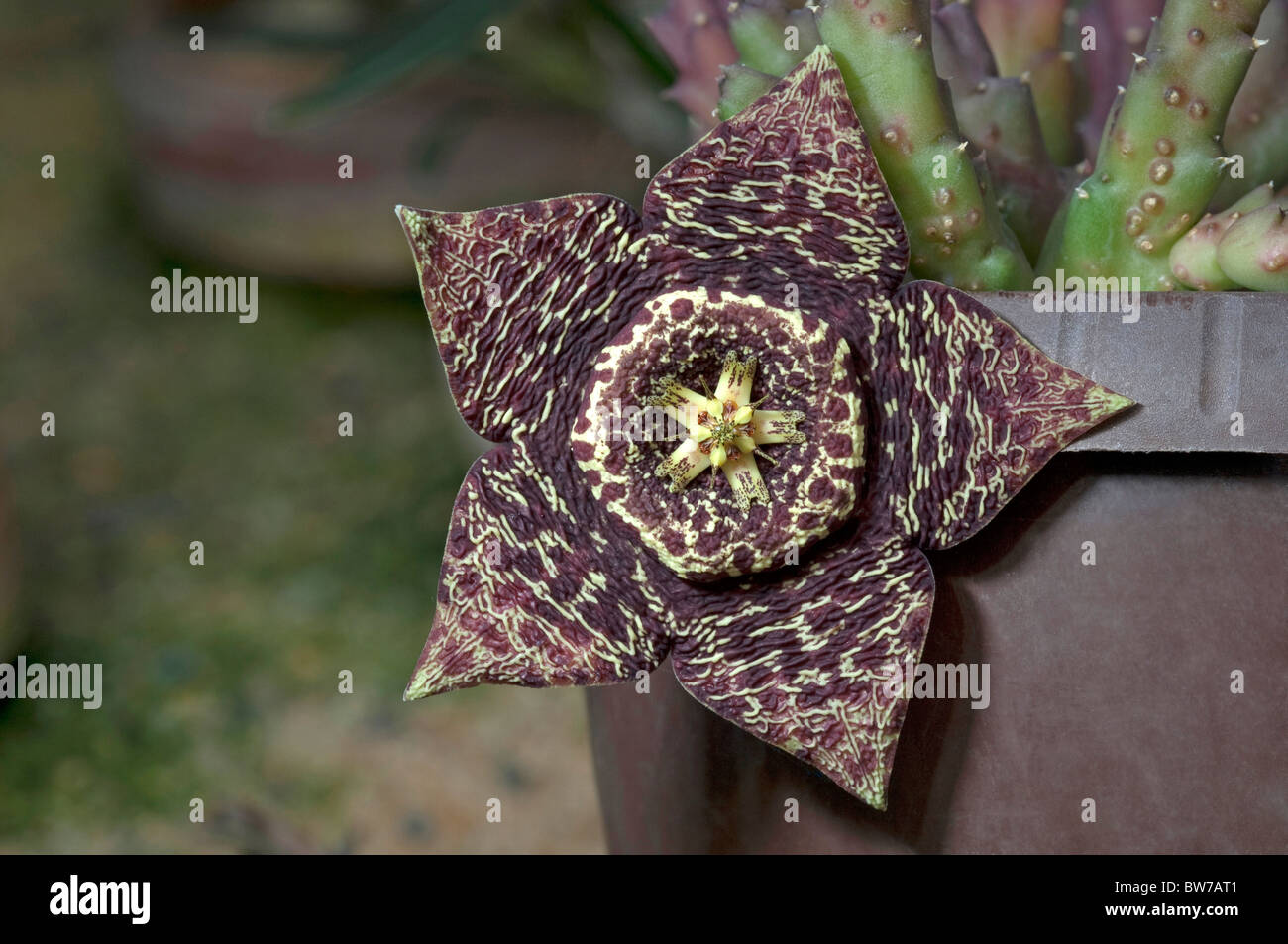 Carrion flower starfish flower stapelia variegata orbea for Stapelia variegata