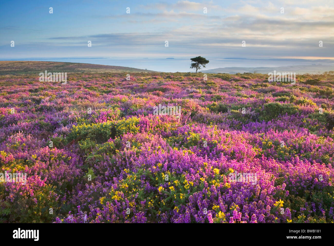 Heather and gorse bloom on the quantock hills looking towards the heather and gorse bloom on the quantock hills looking towards the bristol channel somerset england kristyandbryce Gallery