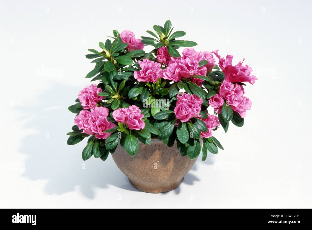 indian azalea rhododendron simsii variety flamenco flowering stock photo royalty free. Black Bedroom Furniture Sets. Home Design Ideas