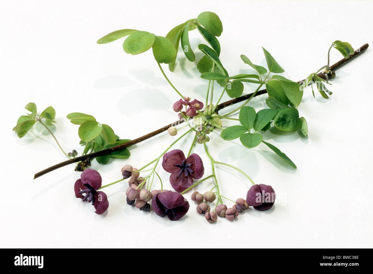 Chocolate Vine, Five Leaf Akebia (Akebia quinata), twig with ...