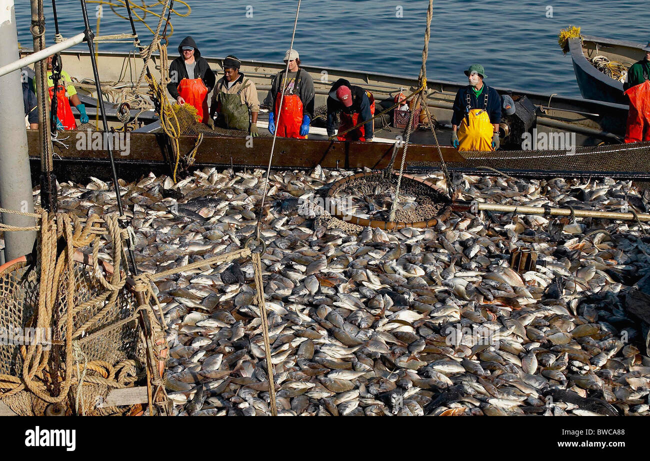 Fish being unloaded from the net traps into the full main for Fish on main
