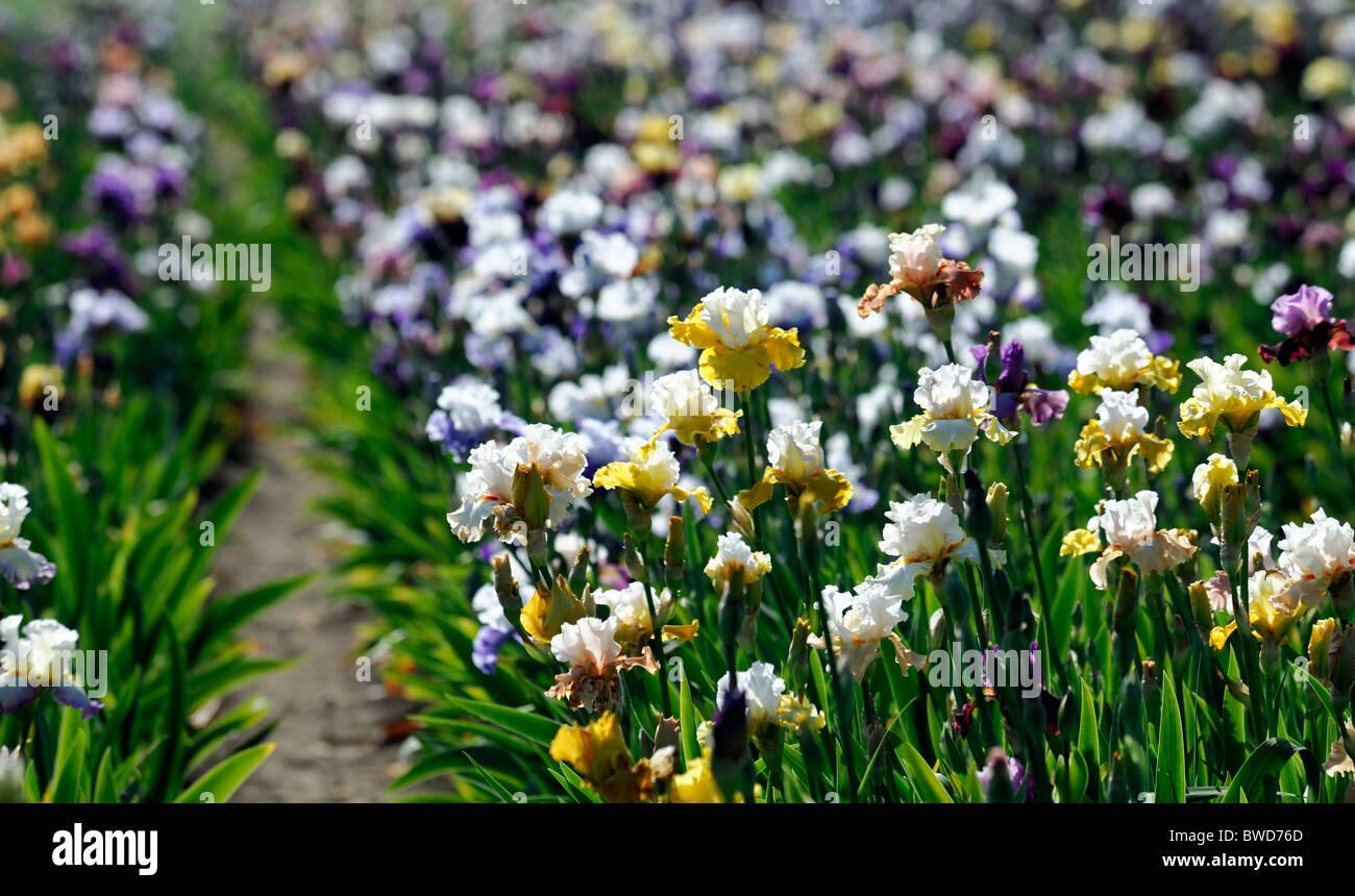Tall Bearded Iris Irises Flowerbed Flowers Bloom Blossom Multiple