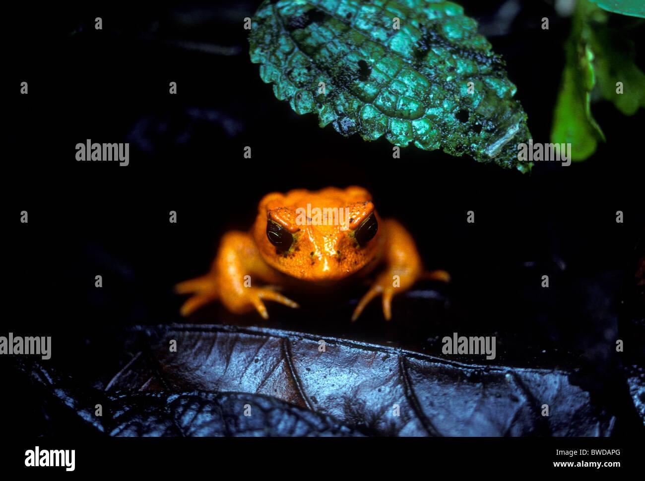 golden-toad-bufo-periglenes-in-monteverd