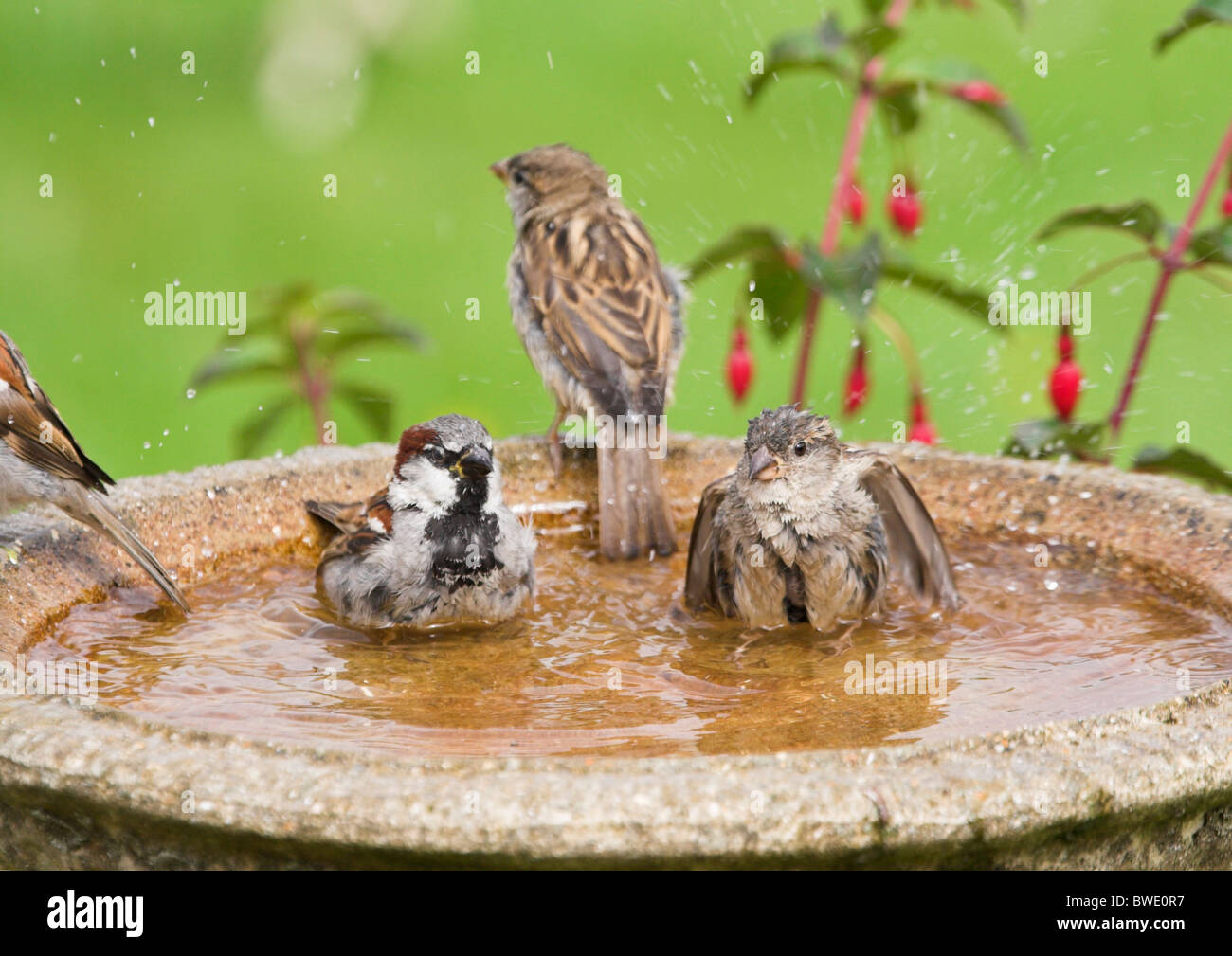House Sparrow Passer Domesticus Group Bathing In Birdbath In Garden  Inverness Shire Highland