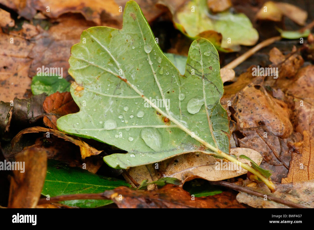 An oak leaf with water droplets stock photo royalty free