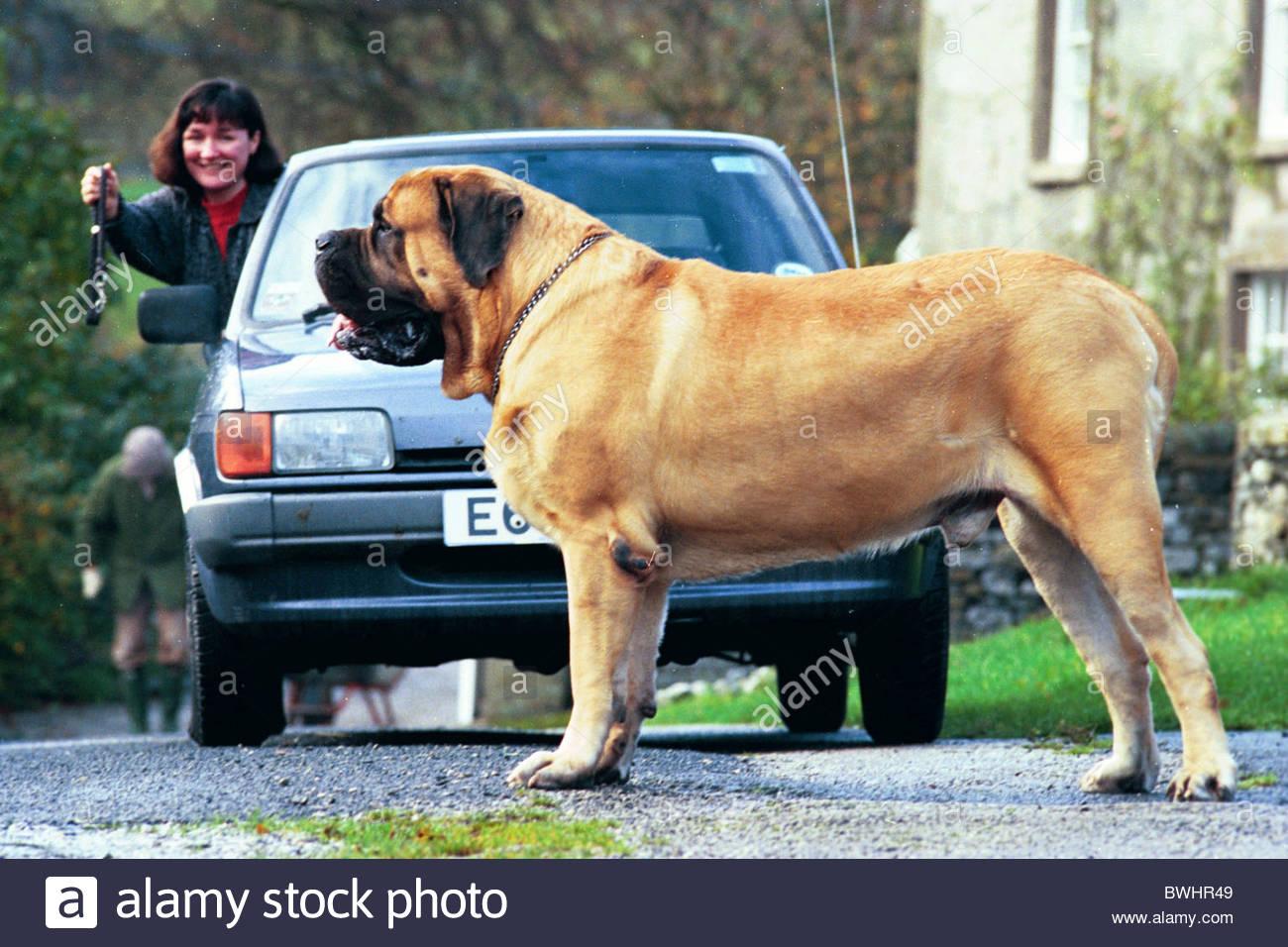 Worlds biggest dog hercules