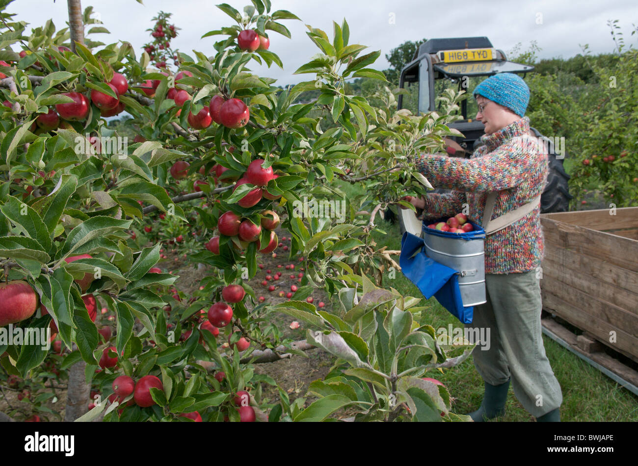 when is the best time to pick apples from tree in uk