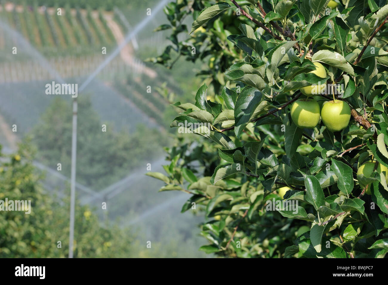 being an apple tree How to prune an apple tree with shears, a pruning saw and common sense, you don't have to be a tree surgeon to improve the appearance, yield and health of your apple trees  you don't have to.