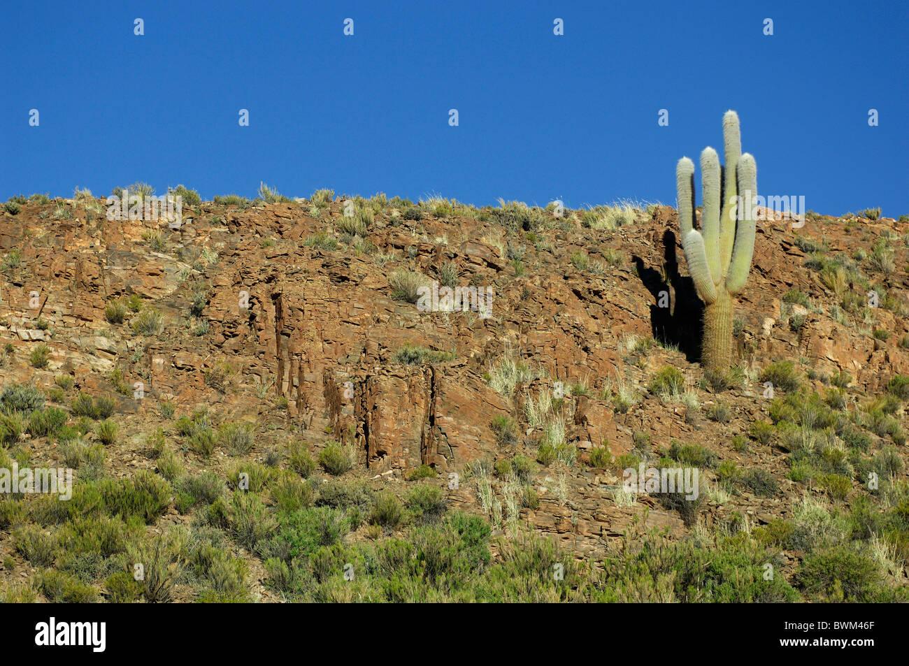 Argentina south america cardon cactus near susques cacti for Cactus argentina