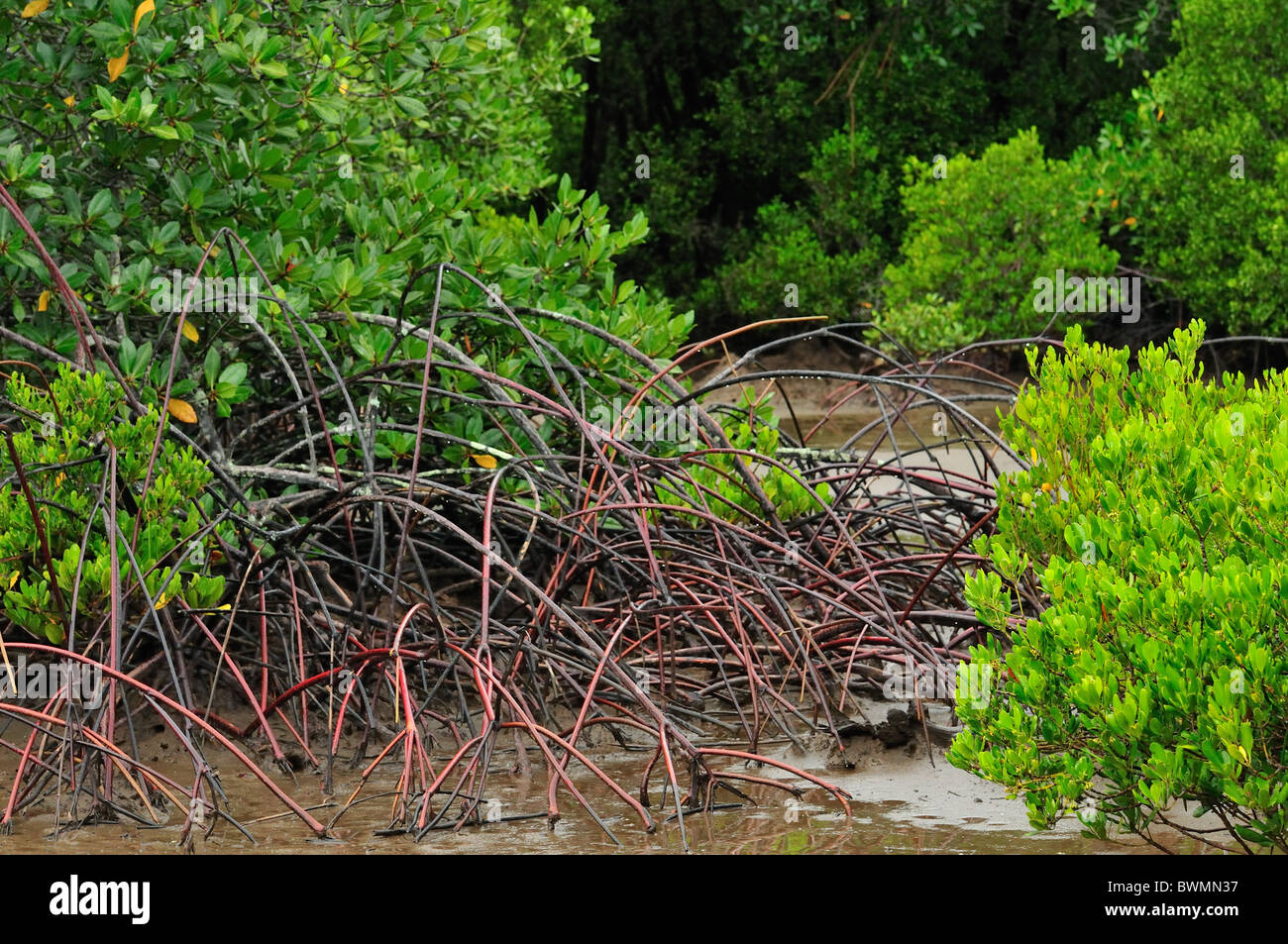 Avicennia sp., red mangrove, Bali National Park, Gilimanuk Stock ...