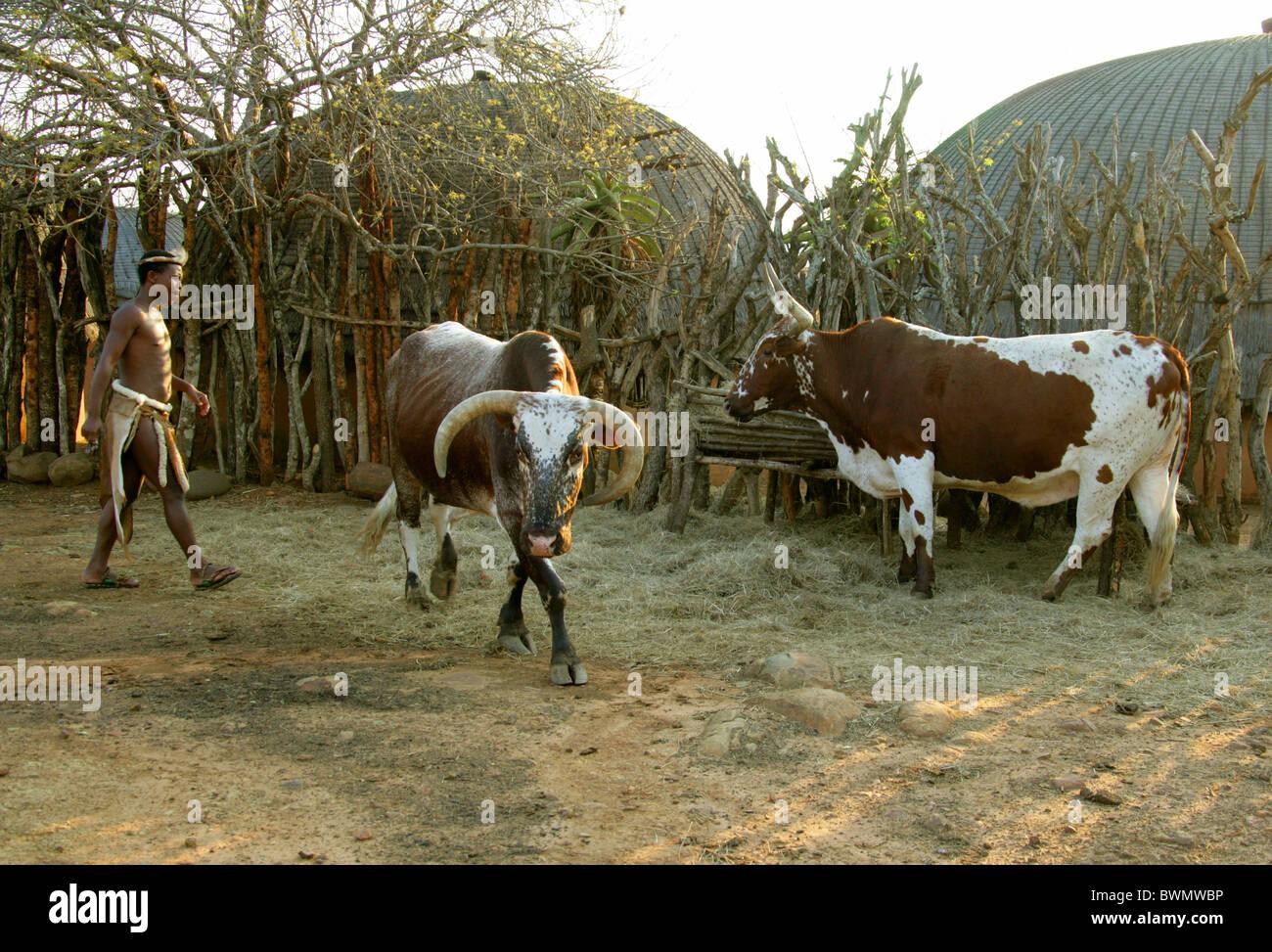 Zulu traditional dress in zulu kraal kwazulu natal - Zulu Man And Nguni Cattle Shakaland Zulu Village Nkwalini Valley Kwazulu Natal