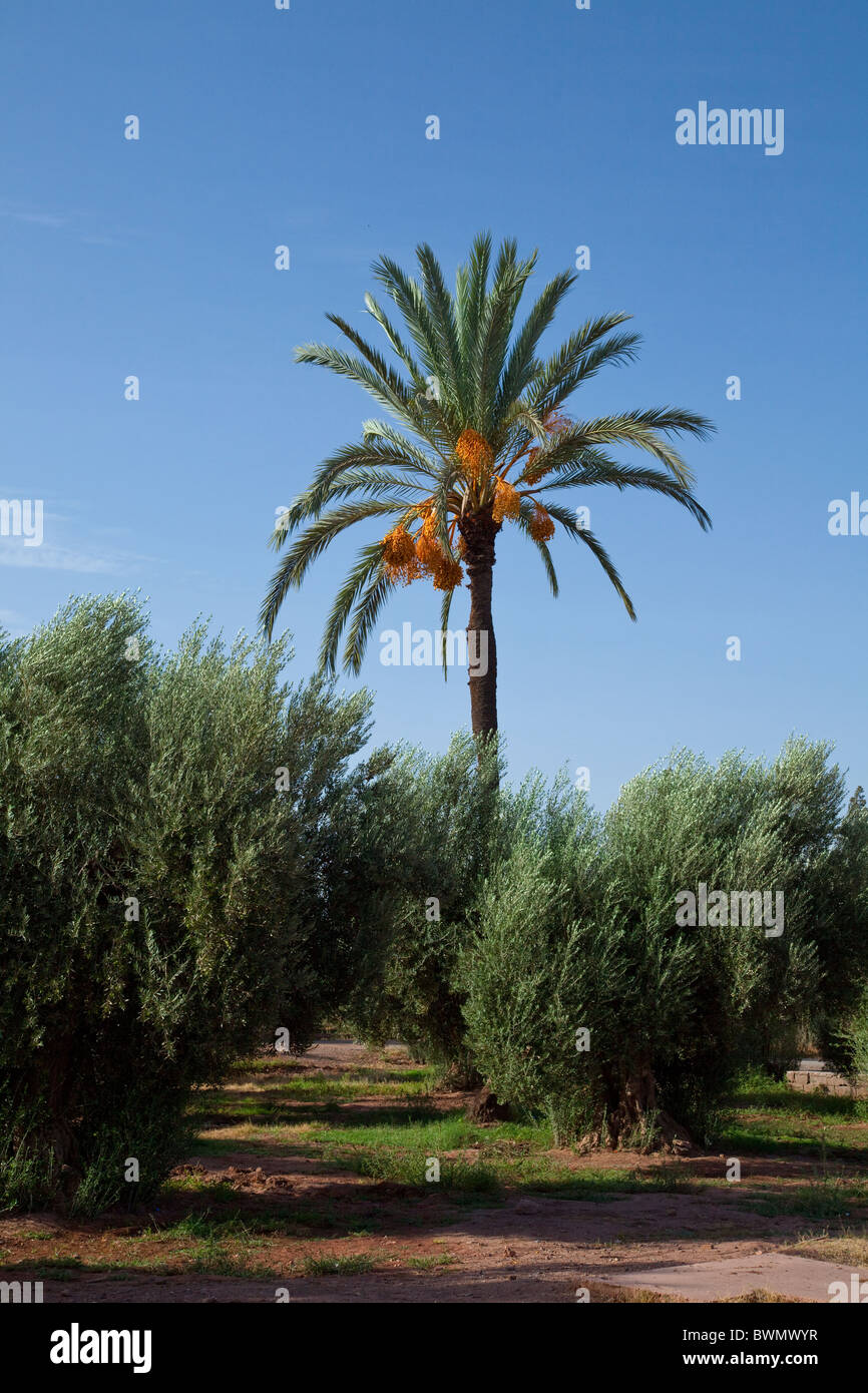 A Tall Date Palm And Olive Trees In The Menera Gardens Of Marrakesh Stock Photo 33036187 Alamy