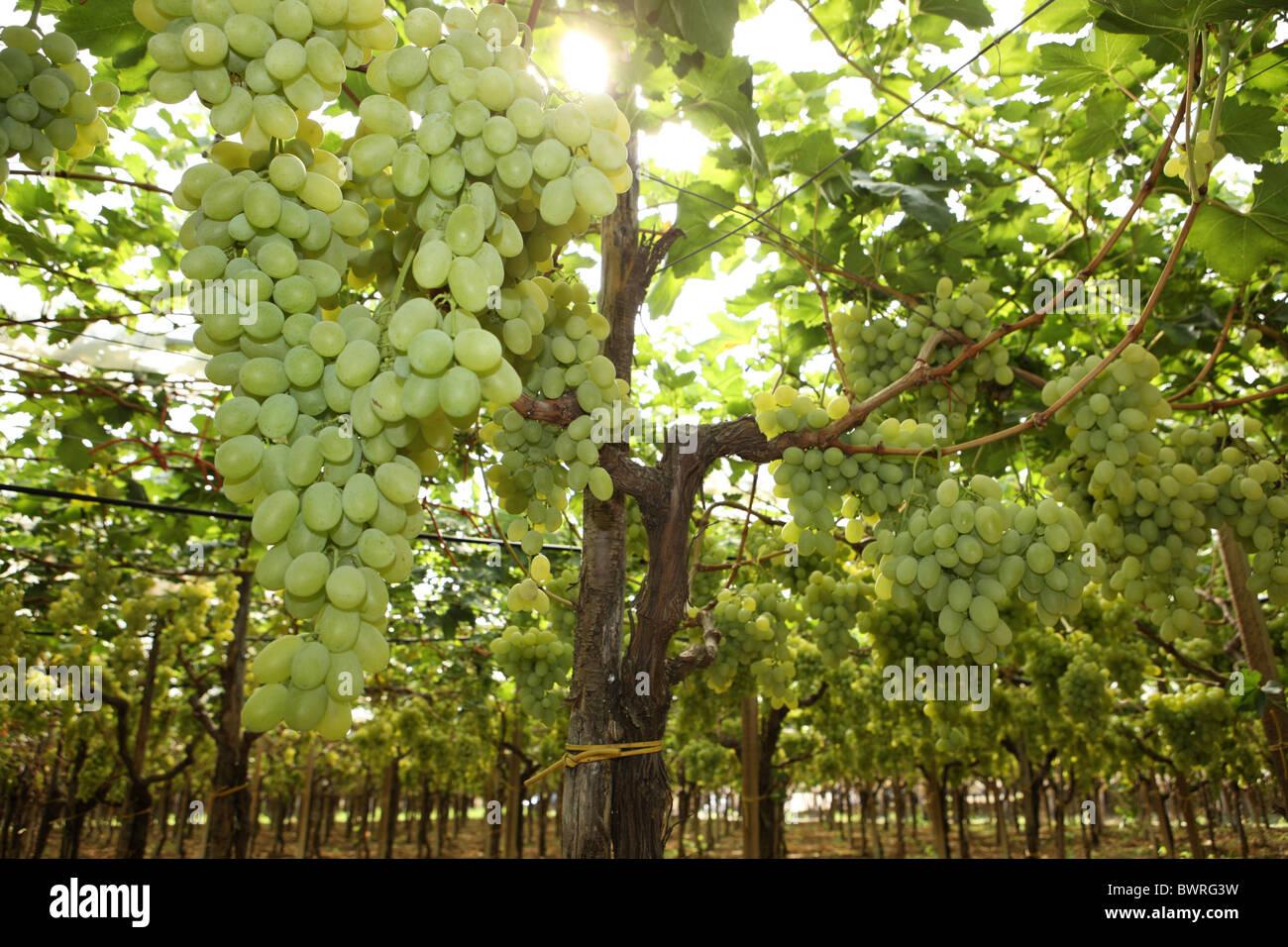 recipe: corrado wine grapes [27]