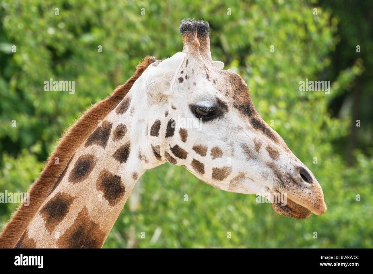 giraffe head close up side view stock photo royalty free image