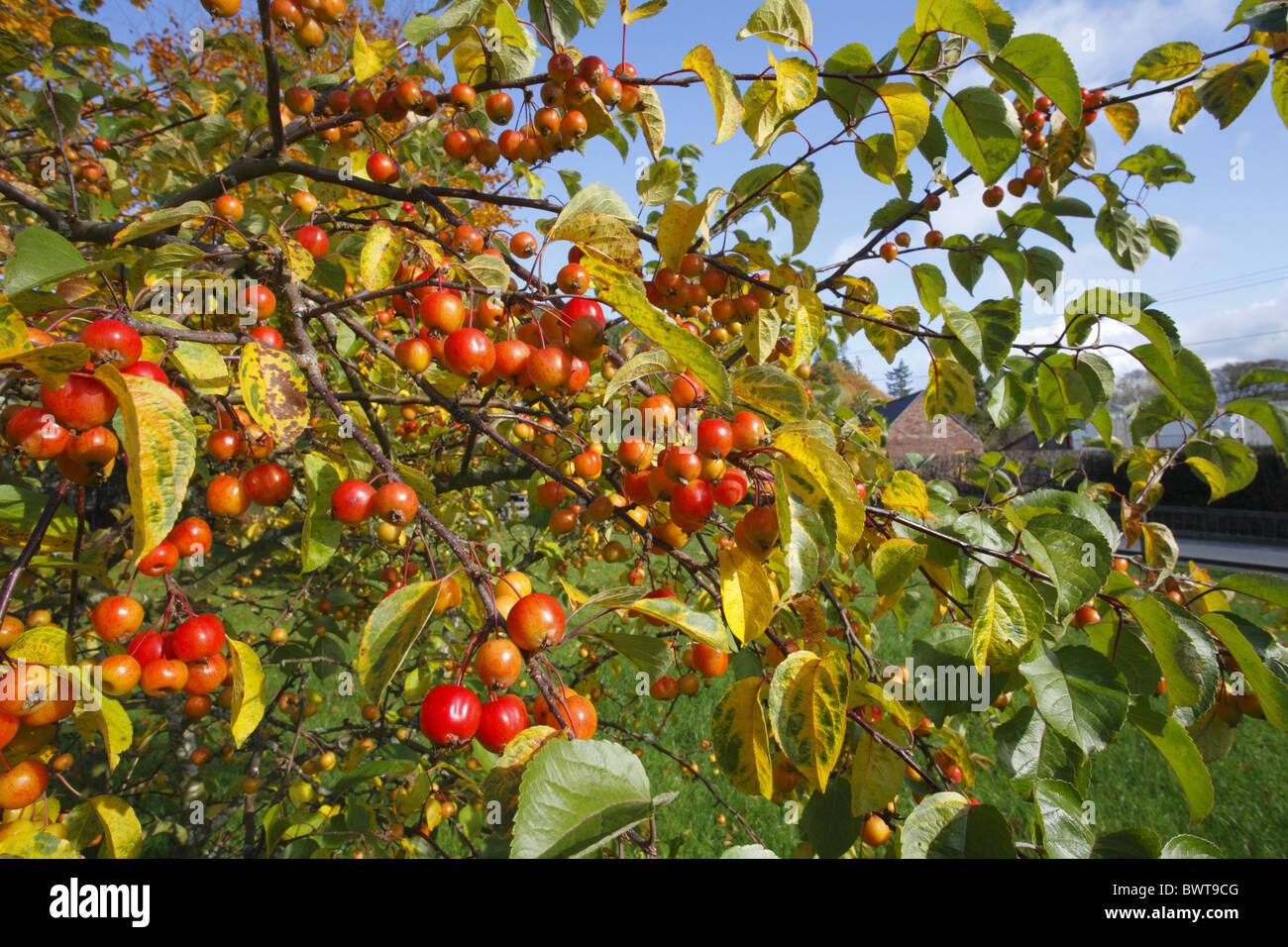 Cultivated Apple Malus Fruit Fruiting Tree Orchard Variety Varieties Stock Photo Royalty Free