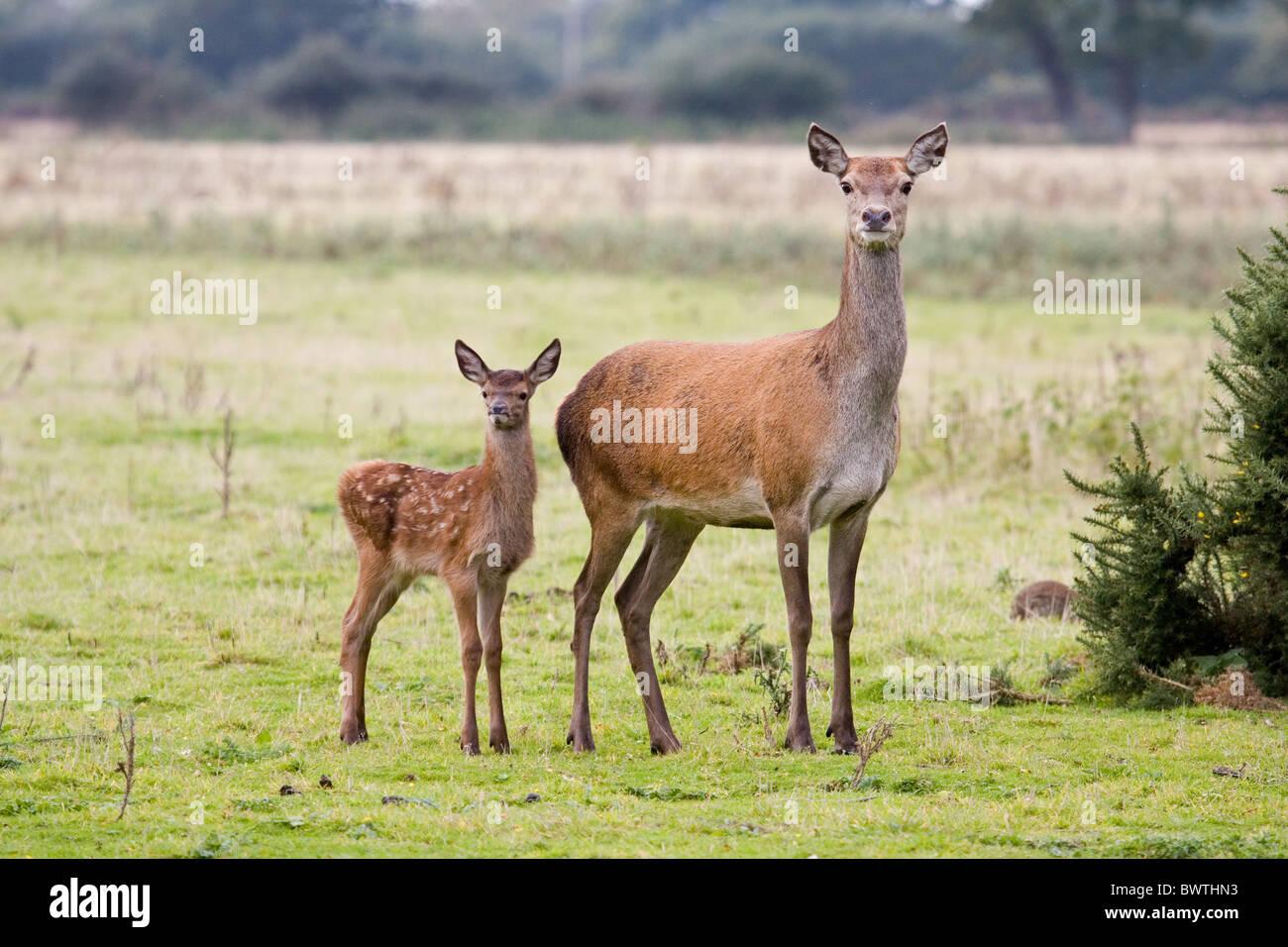 Axis Deer,Male Animal,Wildlife,Wild animal,Deer, Animals And Pets ...
