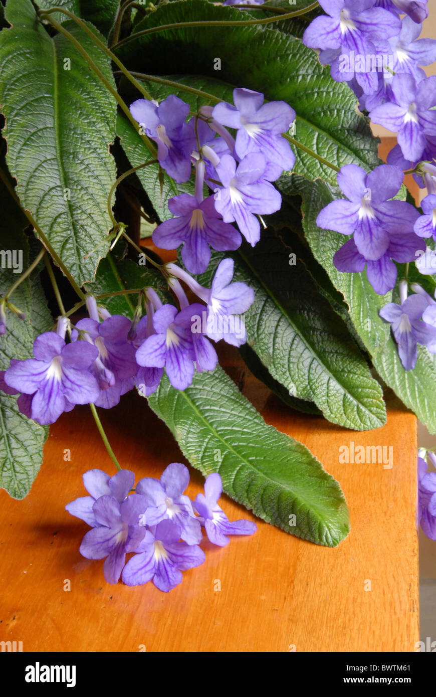 Streptocarpus Indoor Indoors Plant Cape Primrose Stem Bloom Blooms Blue House  Plants Houseplants Houseplant Flower Flowering