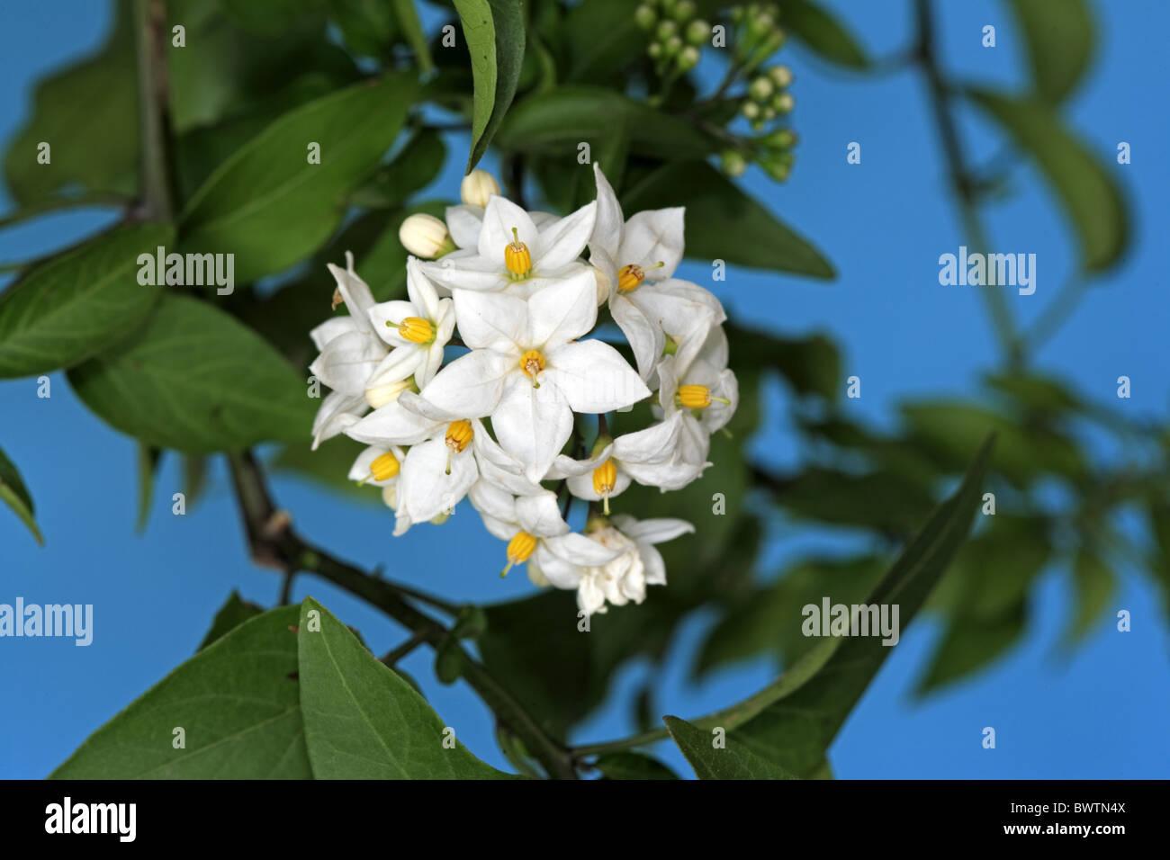 bluete bloom plant plants nightshade nightshades potato. Black Bedroom Furniture Sets. Home Design Ideas