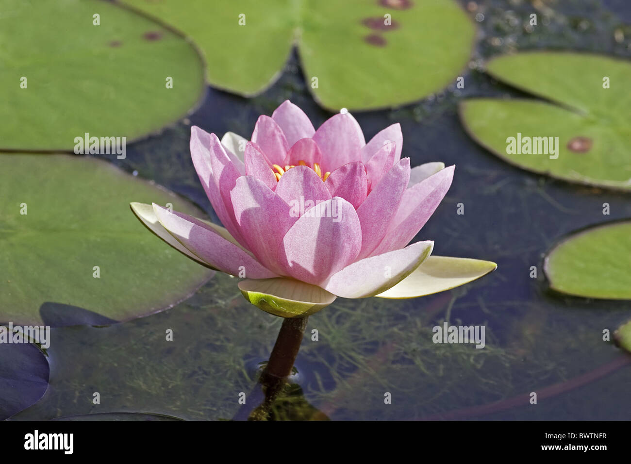 Water lily aquatic plants colour floating flowers form for Floating flowers in water