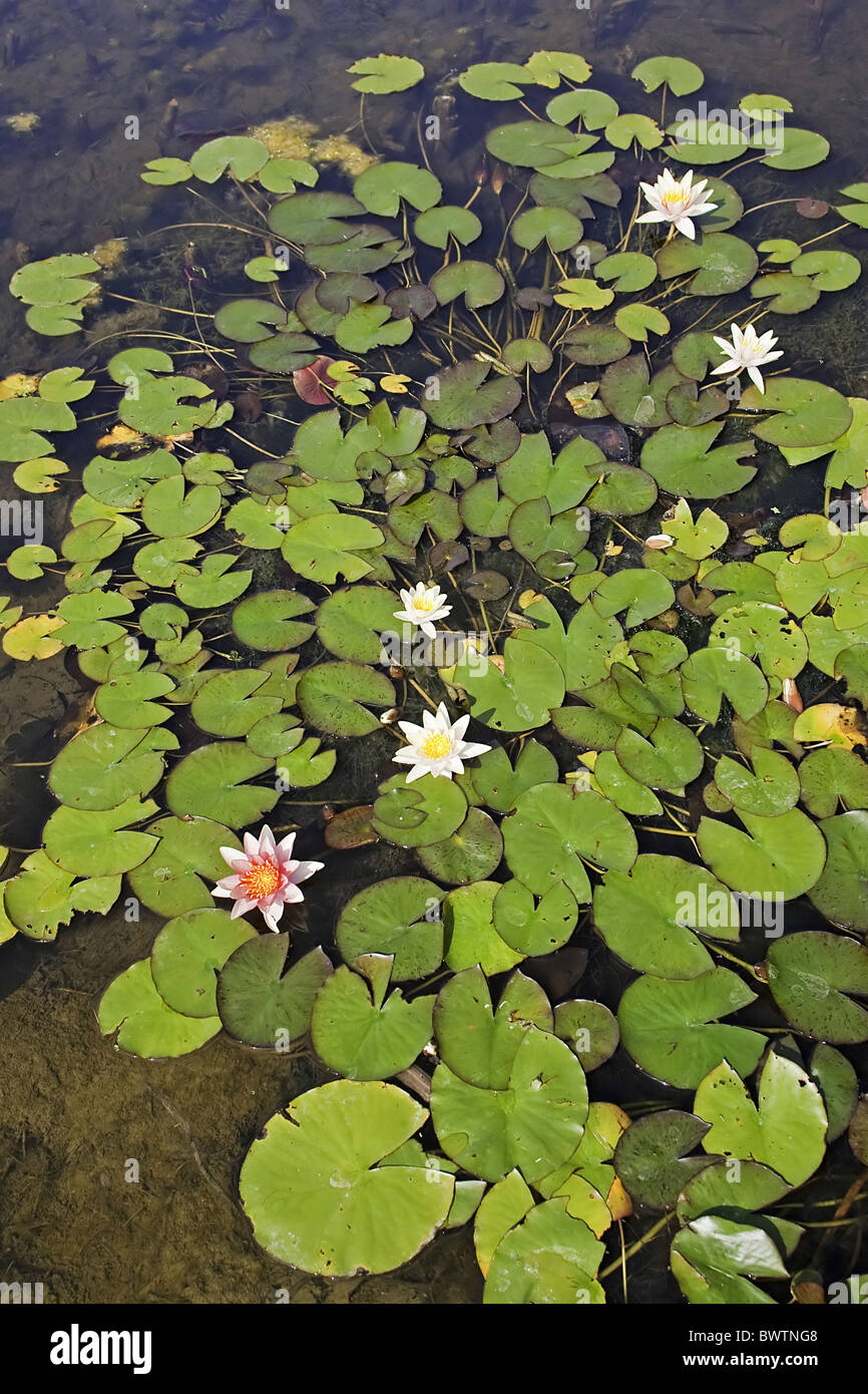 Water lily aquatic plants colour floating flowers form for Where to get aquatic plants