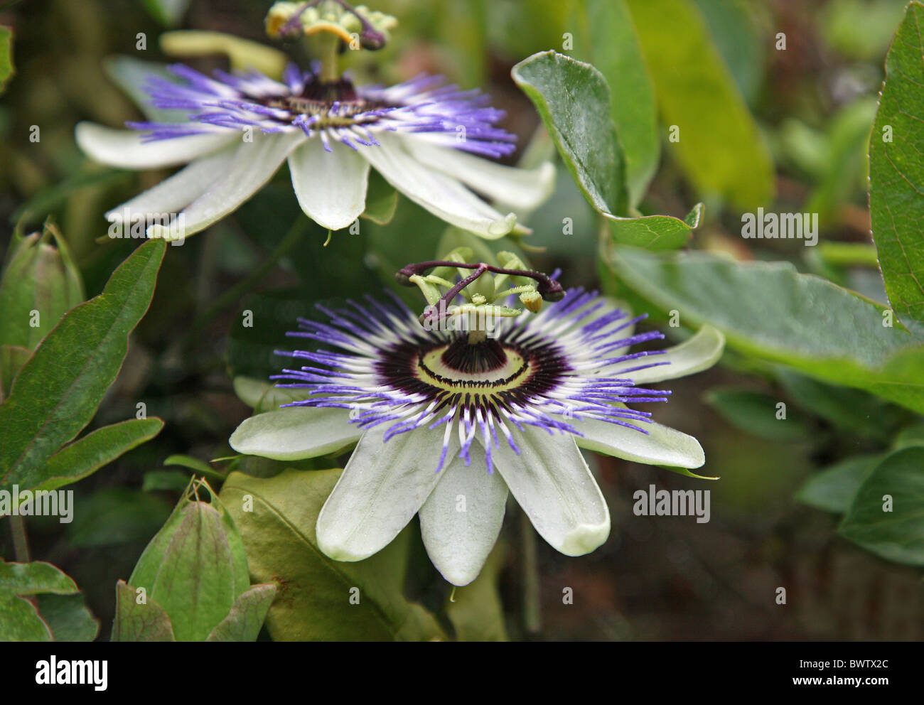 Purple blue and white passion flowers or passion vines purple blue and white passion flowers or passion vines passiflora caerulea dhlflorist Images