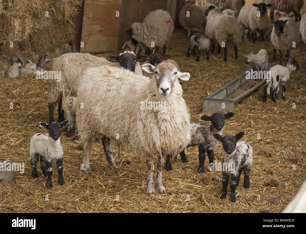 ewes lambing lambs sheep sheep domestic farm farms farming hoofed