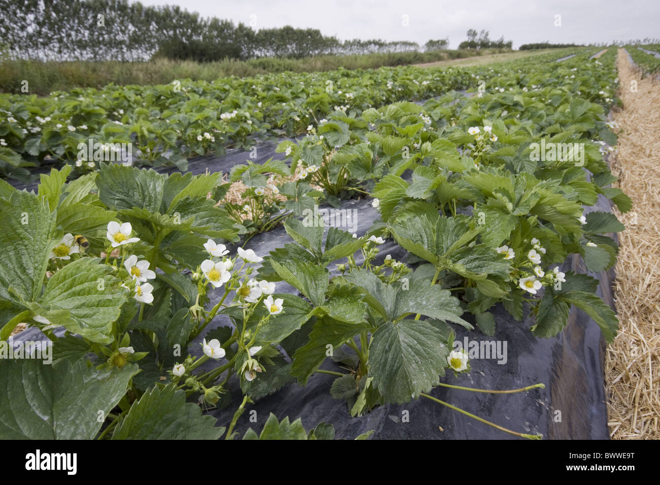 Strawberry Plants Covered Stock Photos & Strawberry Plants Covered ...