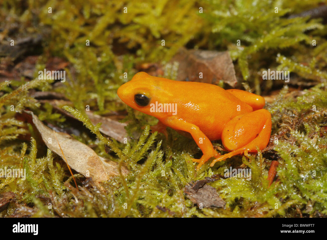 frog frogs amphibians amphibian animal animals endemic madagascar