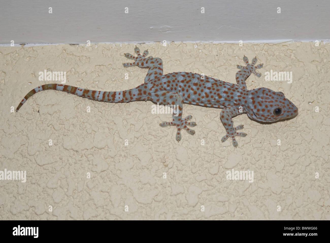 animal environment house gecko gekko gekkonidae gekko reptile