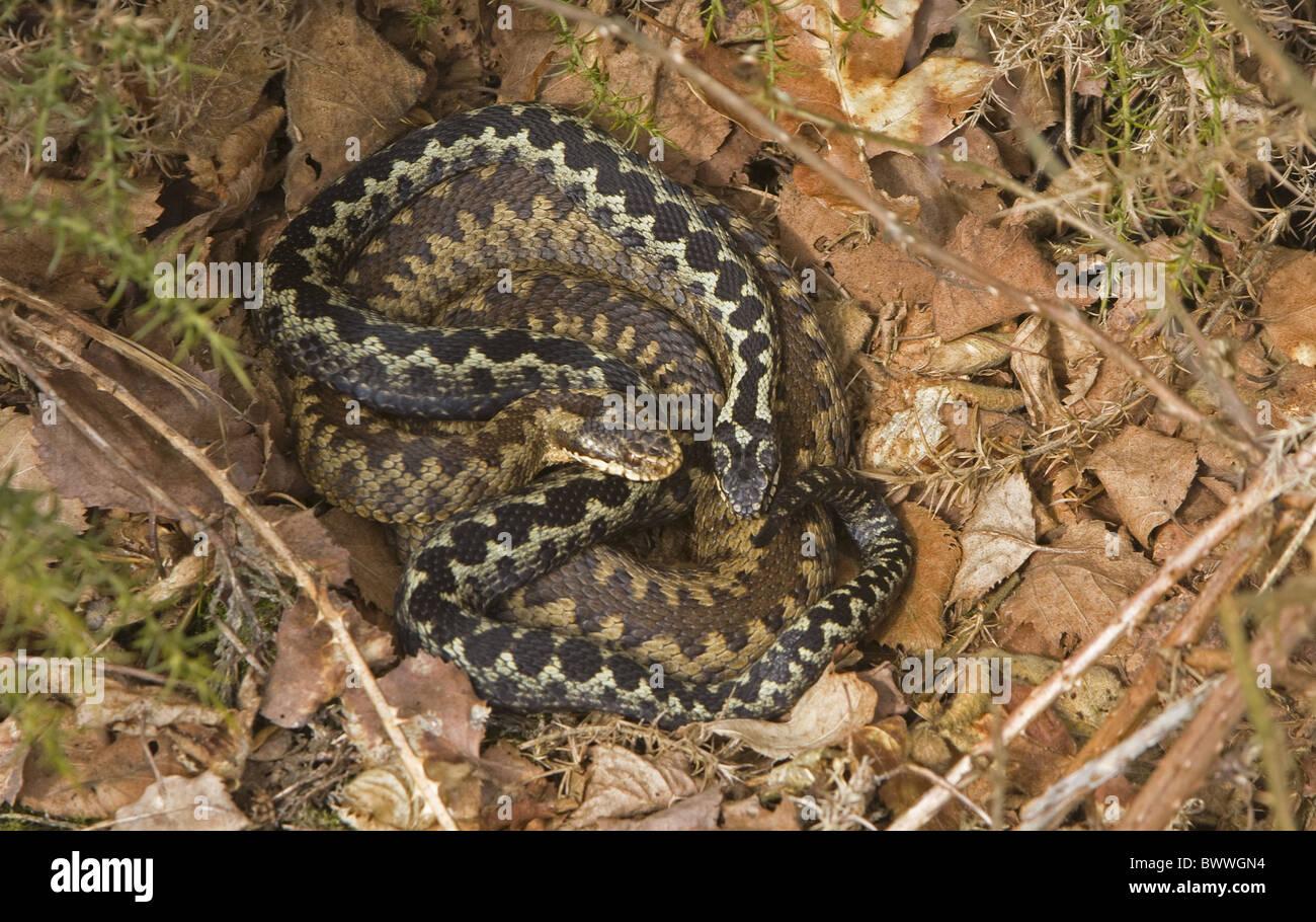 adder adders snake snakes viper vipers poison poisonous venom