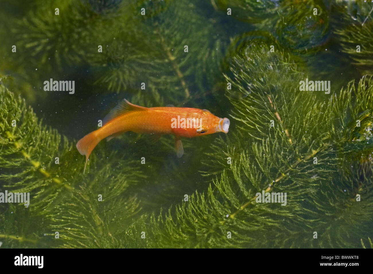 Freshwater aquarium fish from asia - Goldfish Fish Colour Gold Orange Water Swimming Animal Animals Fish Fishes Freshwater Asia Asian Gibel Carp Aquatic Domestic