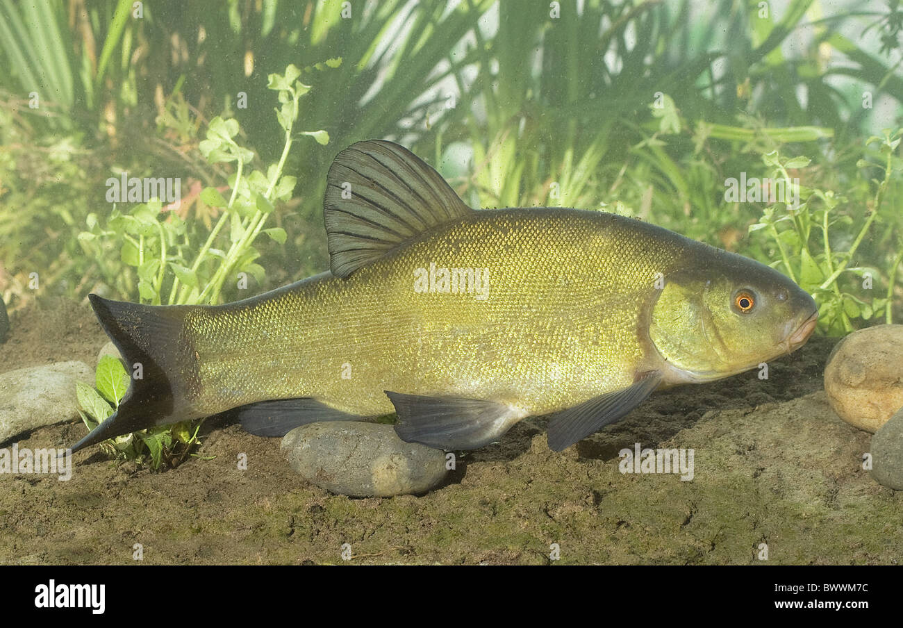Freshwater aquarium fish from asia - Stock Photo Animal Animals Fish Fishes Freshwater Europe European Asia Asian Eurasia Eurasian Aquatic Wildlife Nature Cyprinid Cyprinids