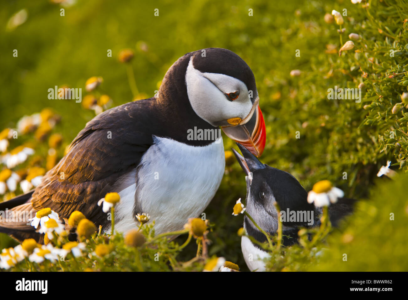 Atlantic Puffin Frater...