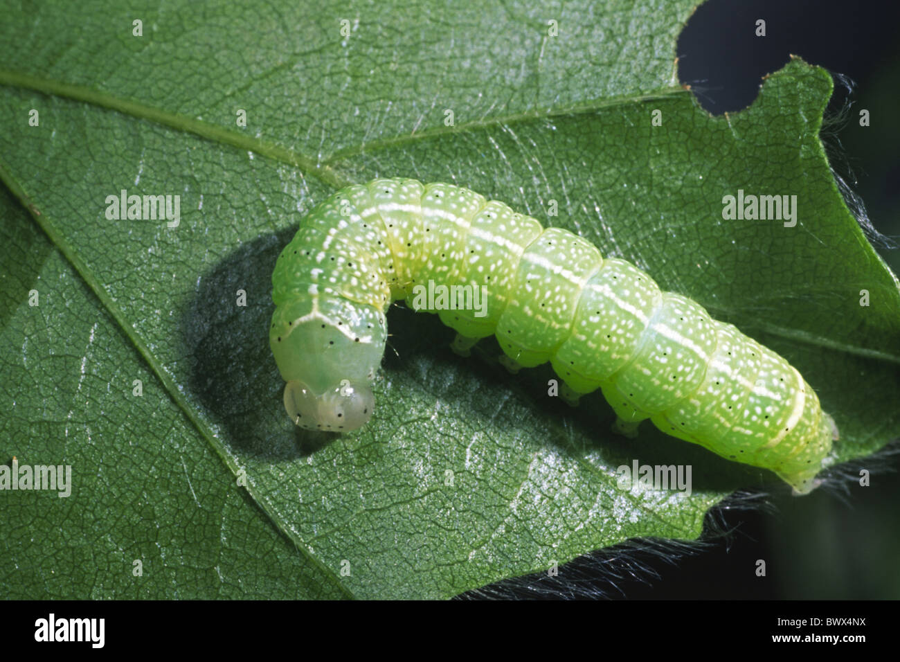 Orthosia Cerasi Common Quaker Larva Larvae Caterpillar Insect Bug Stock Photo  Royalty Free