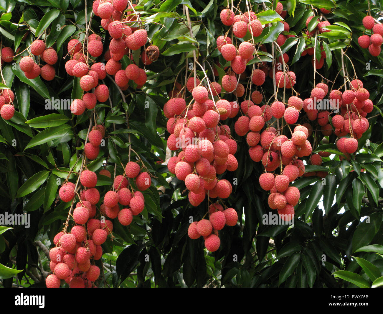 lychee litchi chinensis fruits hanging tree stock photo, royalty, Beautiful flower