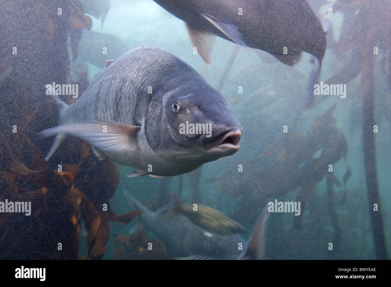 Freshwater aquarium fish cape town - South Africa Cape Town Two Oceans Aquarium White Steenbass In Fish Tank