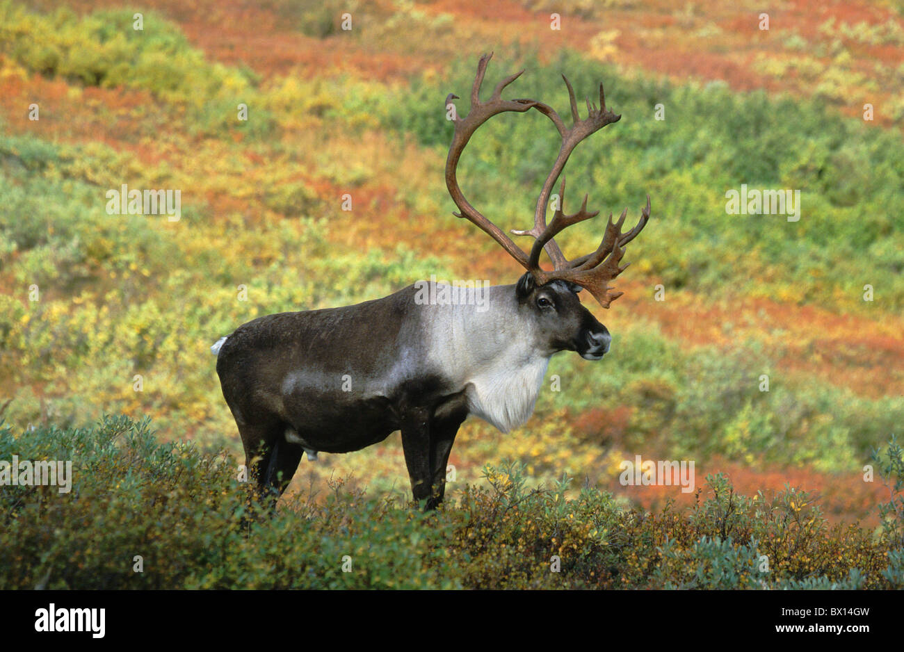 Animals That Live In The Tundra