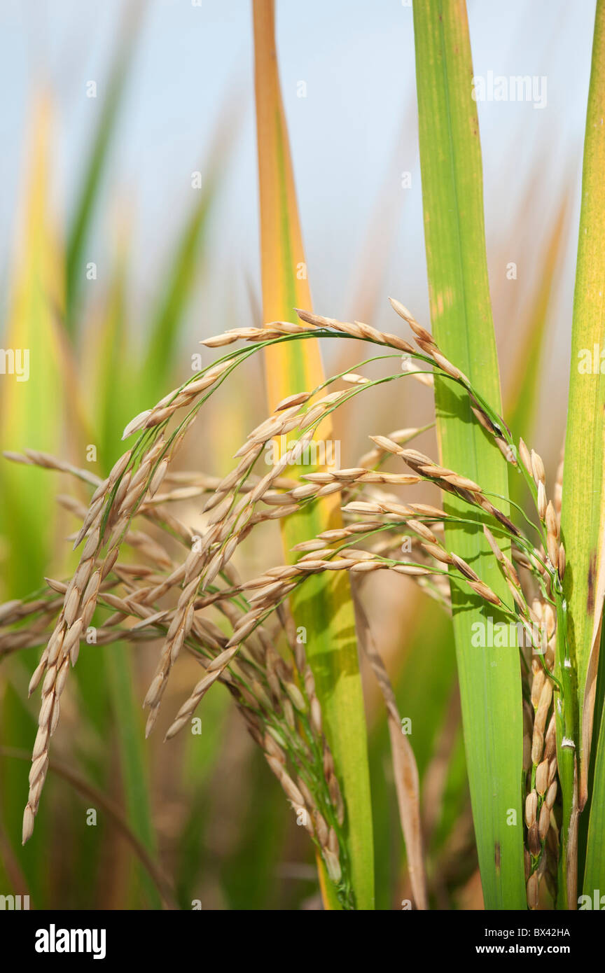 Rice seed for planting -  Ripe Rice Grain Seed On The Plant In A Paddy Field Ready For Harvesting In
